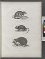 Zoologie. Mammifères. 1. Rat d'Alexandrie; 2. Echimis d'Égypte; 3. Hérisson oreillard (NYPL b14212718-1268469).tiff