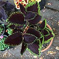 'Giant Exhibition Magma' coleus IMG 0881.jpg