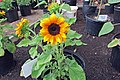 'Little Tiger' sunflower IMG 5465.jpg