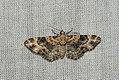 (1817) Foxglove Pug (Eupithecia pulchellata) (3640696084).jpg