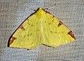 (1906) Brimstone Moth (Opisthograptis luteolata) (4565195790).jpg