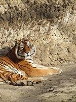 Амурський тигр у Харківському зоопарку.jpg