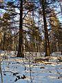 Вековые сосны - panoramio.jpg
