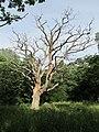 Высохший дуб в бывшем имении Мордвинова.jpg