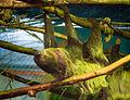 Двупалый ленивец II.jpg
