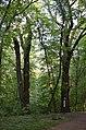 Дуб Петра Могили 05.jpg