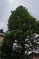 Дуб звичайний (пірамідальна форма) вул. Труша, 23.jpg