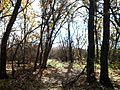 Молодой дубовый лес.jpg