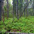 Старый лес - panoramio (1).jpg