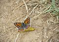 Червонец пятнистый (Многоглазка пятнистая) - Small Copper (American Copper, Common Copper) - Lycaena phlaeas - Kleiner Feuerfalter (24737350242).jpg