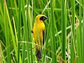 นกกระจาบทอง Asian Golden Weaver by Peak Hora 12.jpg
