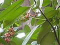 タラヨウ(多羅葉)(Ilex latifolia)-実01 (5845155516).jpg
