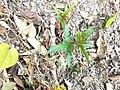 ナガバモミジイチゴのシュート地下茎から出てきたシュート.jpg
