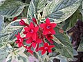 五星花 Pentas lanceolata 'Touch of Ice' -香港公園 Hong Kong Park- (26036921088).jpg