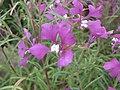 克拉花屬 Clarkia pulchella -倫敦植物園 Kew Gardens, London- (9200883394).jpg