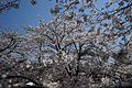 八王子宮の桜 - panoramio (1).jpg