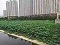 北京湾北的荷花 03.jpg