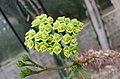 大戟屬 Euphorbia capuronii -比利時 Ghent University Botanical Garden, Belgium- (9219877149).jpg