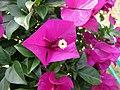 大葉深紫光葉子花 Bougainvillea glabra 'Senjakala' -深圳蓮花山公園 Shenzhen Lianhuashan Park, China- (11205338245).jpg