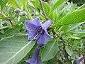 山茛菪屬 Acnistus australis -巴黎植物園 Jardin des Plantes, Paris- (9200884780).jpg
