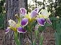 德國鳶尾-高大型 Iris germanica Nibelungen -瀋陽世博園 Shenyang Expo Gardens, China- (9252407977).jpg