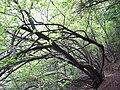 怪树 - panoramio (1).jpg