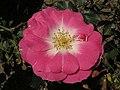 月季-新生的冰川 Rosa chinensis -上海共青森林公園 Shanghai, China- (9204834683).jpg