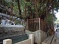 朱紫坊龙墙榕 - Big Banyan Tree in Zhuzifang Alley - 2011.07 - panoramio.jpg