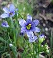 狹葉庭菖蒲 Sisyrinchium angustifolium -維也納大學植物園 Vienna University Botanical Garden- (28232118940).jpg