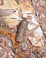 -0787- Bryotropha terrella (28479853347).jpg