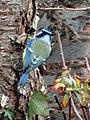 -2018-12-01 Blue Tit (Cyanistes caeruleus), Trimingham (4).JPG