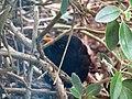 -2019-01-10 Male blackbird (Turdus merula), Trimingham, Norfolk (2).JPG