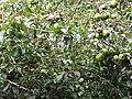 -2020-08-17 Crab apple tree (Malus sylvestris), Trimingham, Norfolk.JPG