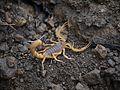 ... scorpion -- Indian red scorpion - Hottentotta tamulus (7385181120).jpg