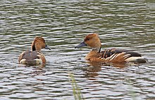 004 - FULVOUS WHISTLING-DUCK (11-13-13) estero llano grande state park, weslaco, tx -03a (10862054844).jpg