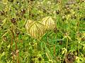 01767 - Hibiscus cannabinus (Eibisch).JPG