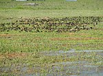 03326jfBirds Ducks Wetland Rice Fields Candaba Pampangafvf 12.JPG