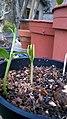 04. unidentified fabaceae seedling 1.jpg