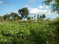04506jfDomesticated Water Hyacinth Pescadores Poblacion Candaba Pampangafvf 19.JPG