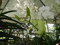 05593jfMidyear Orchid Exhibits Quezon Cityfvf 30.JPG