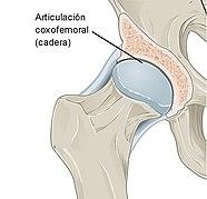 Que huesos forman las articulaciones de la cadera