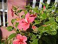 0931jfHibiscus rosa sinensis Linn White Pinkfvf 09.jpg