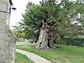 1,000 year old yew tree, Didcot.jpg