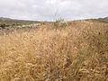 2014-06-15 11 51 58 Dried up Cheat Grass in Elko, Nevada.JPG