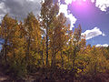 2014-09-25 14 14 12 Aspens showing autumn leaf coloration along Charleston-Jarbidge Road (Elko County Route 748) about 11.1 miles north of Charleston in Elko County, Nevada.jpg