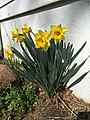 2015-04-13 10 01 42 Daffodils blooming on Bradway Avenue in Ewing, New Jersey.jpg