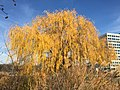 2015-12-08 12 28 34 Weeping Willow with autumn foliage along Woodland Park Road in McNair, Fairfax County, Virginia.jpg