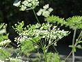 20150604Chaerophyllum temulum1.jpg