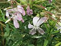 20150722Saponaria officinalis1.jpg