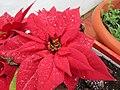 2018-03-05 Red poinsettia (Euphorbia pulcherrima), Albufeira.JPG